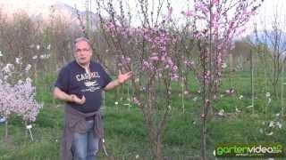 #1036 Mandelpfirsich - Spring Glow Prunus amygdalopersica