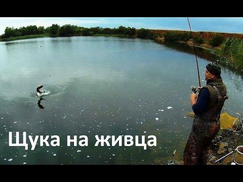 щука на живца с берега летом видео