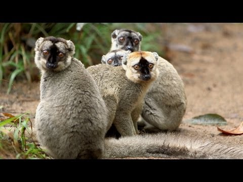 Island of Lemurs: Madagascar Featurette 'Lots of Lemurs'