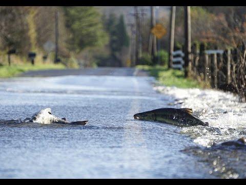 salmoni attraversano la strada a washington - pazzesco!
