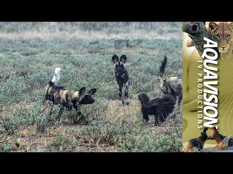 African Wild Dogs harass Honey Badger on the African Savannah | HD Stock Footage