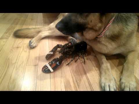 買了龍蝦卻不能吃!?狗狗母性爆發保護龍蝦!