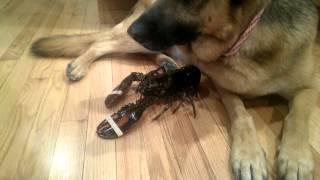 Le chien protège le homard encore vivant