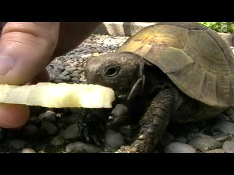Anteprima Video La tartaruga mangia una mela
