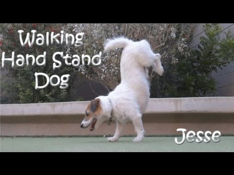 jack russell: the walking hand!