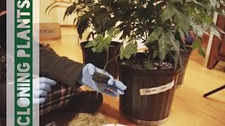 Cloning Cannabis Plants! // RI Medical Weed Grow by Silenced Hippie