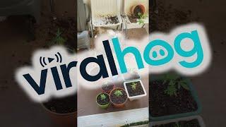 Koty zeżarły kwiaty konopi i rozłożyła je faza! Gruby melanż na balkonie :D