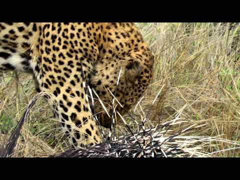 leopard killing a porcupine