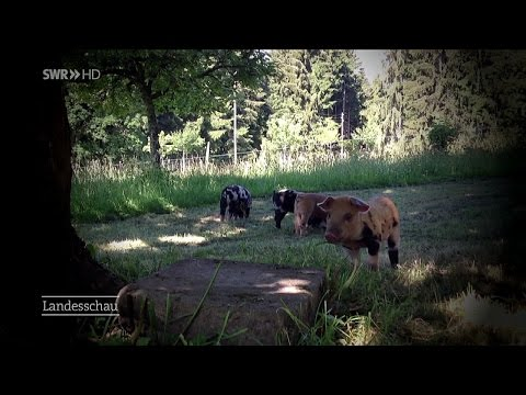 Turopolje-Schweine: Freilaufende Riesen-Schweine