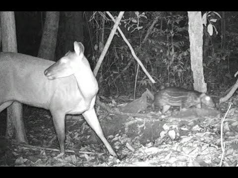 Movimentação de muitos bichos na ceva - Parte 01 - Wild animals of the Amazon - Brazil
