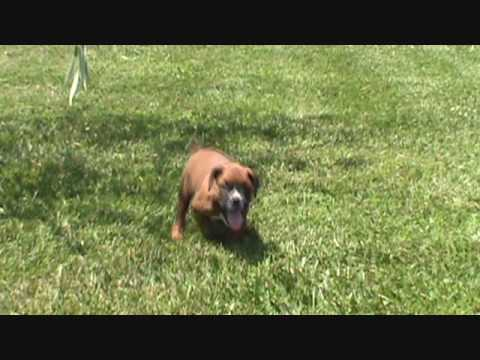 AKC Boxer Gus Playing