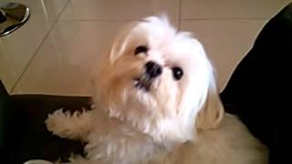 Cachorro cantando pablo