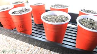 Day 5 Germination and Seedlings by Grow420Guide