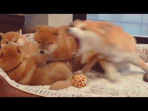 Moederhond verliest geduld bij pups