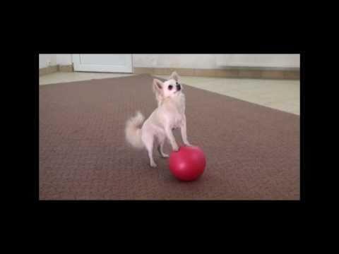 l'addestramento di un chihuahua!