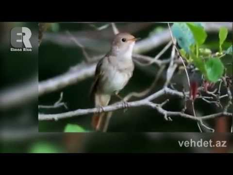 Valeh edici qus sesi (видео)