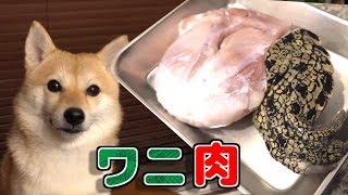 ワニの腕を食べる柴犬!?お肉なのに低カロリー・低脂肪・高タンパクと犬界隈で人気のワニの肉を食す