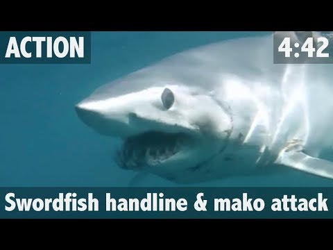 Giant Mako Shark attacks Swordfish