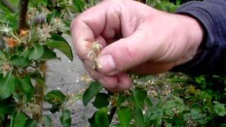 #357 Wann sehe ich ob und wie stark meine Obstbäume befruchtet sind?