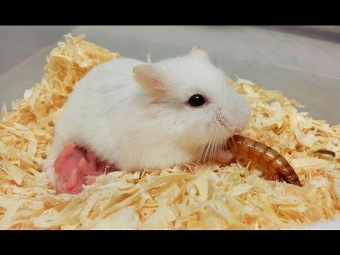 第一次看倉鼠寶寶的生產過程!!3:37倉鼠媽媽在吃剛出生的寶寶嗎?!