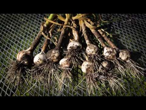 Savor Door County - Roasted Garlic with Fresh Thyme and Goat