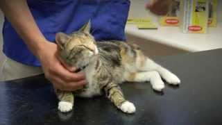ADVANCE Kitten Care - Desexing