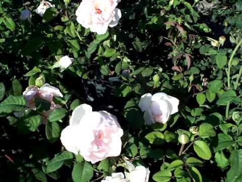 Rose Sharifa Asma English rose.mov (видео)