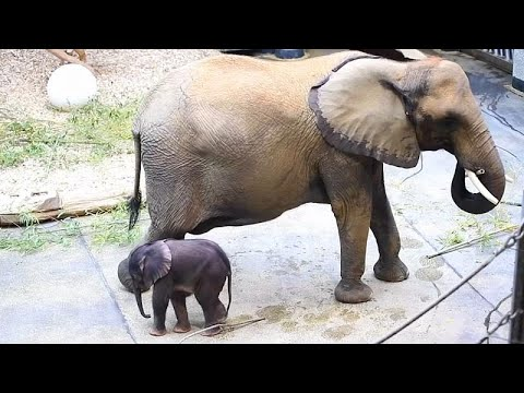 Tiergarten Schönbrunn zeigt 5 Tage alten Baby-Elefant ...