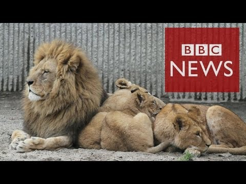 Zoo Denmark - A zoo in Denmark that provoked outrage after putting down a healthy giraffe has killed a family of 4 lions to make way for a new young male lion. Copenhagen ...