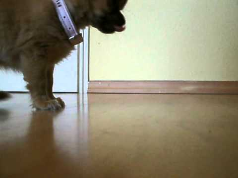 Chihuahua – Training