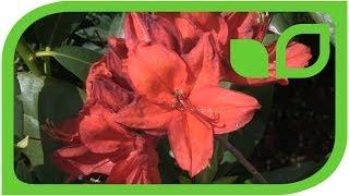 Rhododendrum luteum Satan