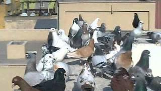 filo güvercinleri hatay iskenderun