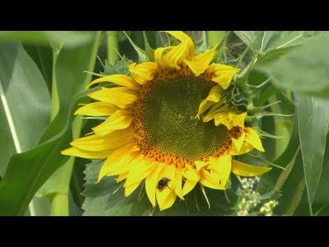 Sinnvoll oder nur Kosmetik? Blühstreifen am Feldrand | Unser Land | BR Fernsehen