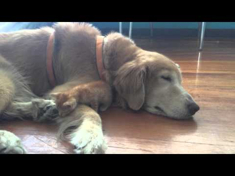 golden retriever & kitten
