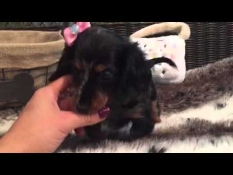 Beautiful Mini Dachshund female