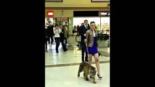 Śliczna laska spaceruje po centrum handlowym z tygrysem.