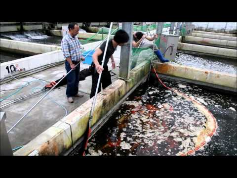 koi - Selection of Jumbo Tosai at Momotaro Koi Farm on April 17th 2012. Most of the koi in this video were bred in May and June 2011. 9-10 months later they range ...