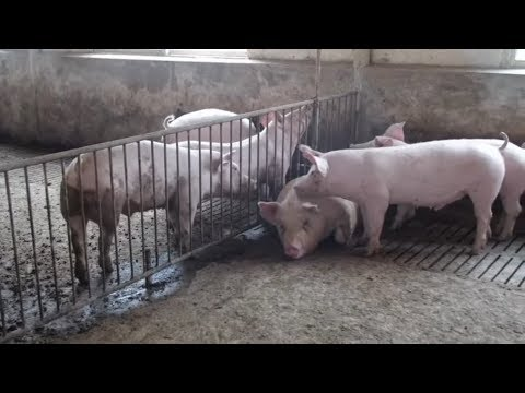 Schweinepest in China treibt die Fleischpreise in die Höhe