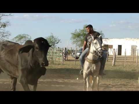 Treinamento para vaquejada em Pintadas Bahia
