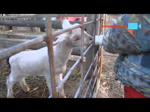 Bláznivý kozlík a ostatní zvířátka