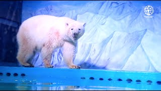 Professor: Isbjørn i storcenter vil blive mere og mere sindssyg
