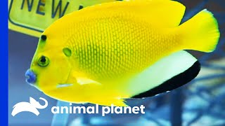 Awesome Route 66 Tank Is Filled With Beautiful Colorful Fish   Tanked by Animal Planet