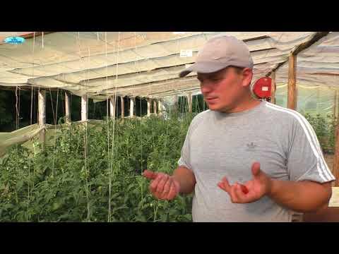 Почему томаты краснеют раньше времени - DomaVideo.Ru