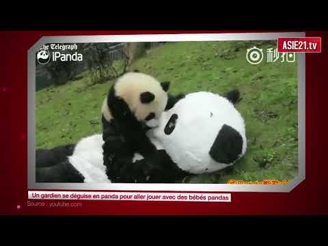 Un gardien se déguise en panda pour aller jouer avec des bébés pandas