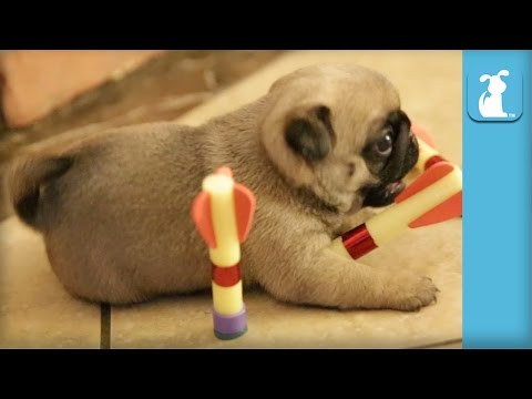 Precious Pug Puppies Play With Darts, Aren't That Good – Puppy Love