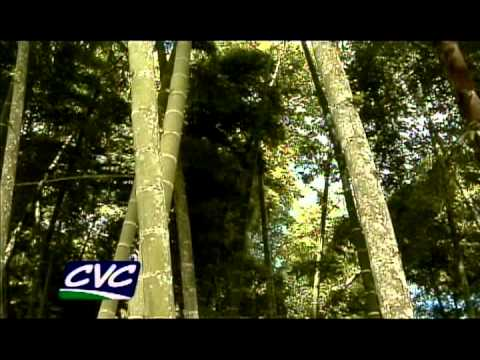 guadua - Mayor información: Tel:2292790 CVC La Unión www.cvc.gov.co.