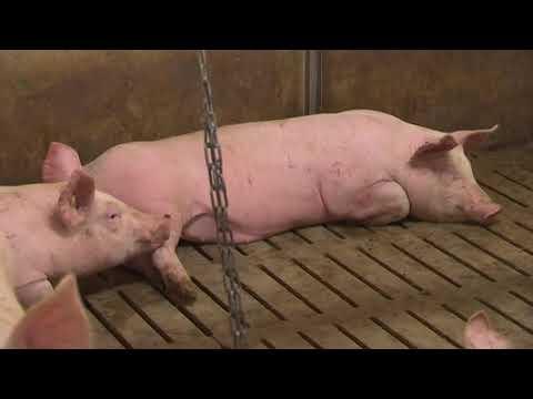 Erste Fälle in Polen und Tschechien: Die Afrikanische Schweinepest bedroht Deutschland
