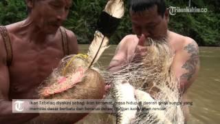 Download Video VIDEO Ikan keramat dari Pedalaman Kalimantan Timur MP3 3GP MP4