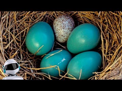 Что будет, если кукушка подкинет яйцо?