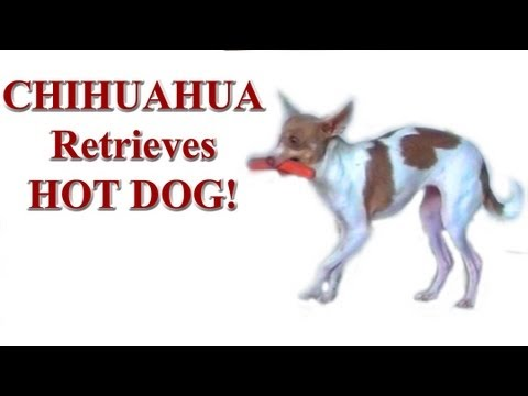 Chihuahua retrieves hot dog- amazing self control  dog training tricks